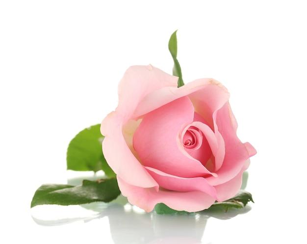 Roze roos op wit