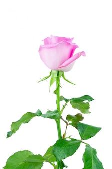 Roze roos op witte achtergrond