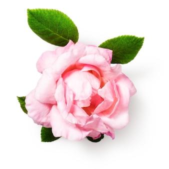 Roze roze bloem met bladeren enkel object geïsoleerd op een witte achtergrond uitknippad inbegrepen