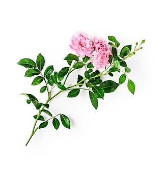 Roze roze bloem met stengel en bladeren. kleine klimrozen in de zomertuin. enkel object geïsoleerd op een witte achtergrond uitknippad opgenomen. bovenaanzicht, plat gelegd. ontwerpelement