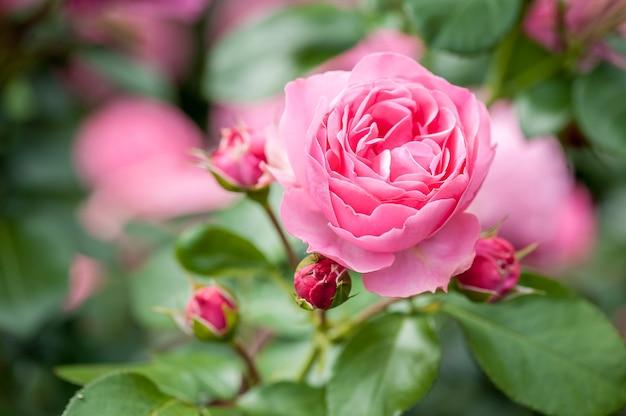 Roze roze bloem met toppen in rozentuin.