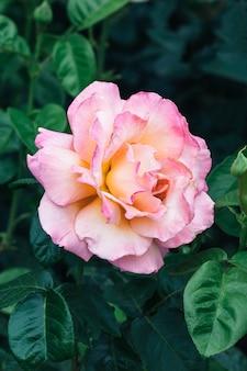 Roze roze bloem tegen een wazig van donkergroene bladeren in de tuin.