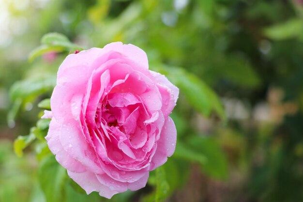Roze roze versheidsbloem met regendruppels mooi in de tuinaard