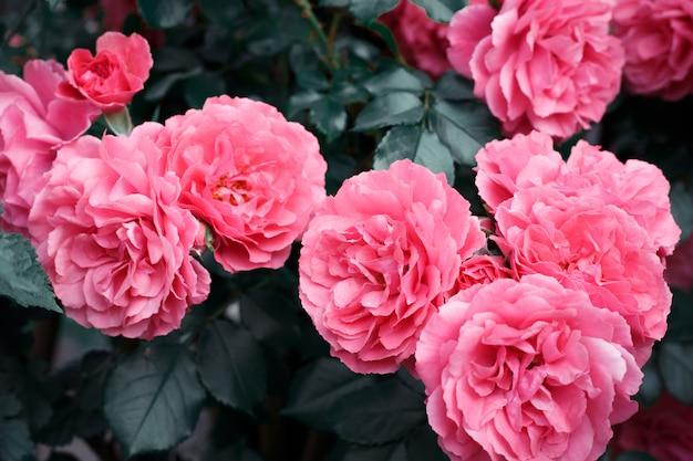 Roze rozen. achtergrond van bloeiende rozen. tuin van rozen. natuur.