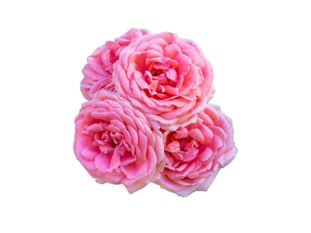 Roze rozen geïsoleerd op een witte achtergrond. mooi stilleven. lente tijd. plat lag, bovenaanzicht.