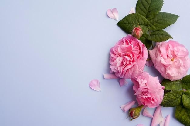 Roze rozen plat lag op een blauwe achtergrond. lay-out met roze bloemen met kopie ruimte