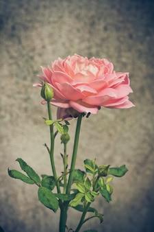 Roze rozenachtergrond, ondiepe diepte van gebied. retro vintage instagramfilter
