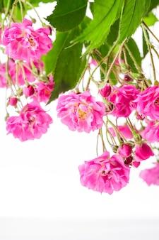 Roze rozenstruik geïsoleerd op een witte achtergrond