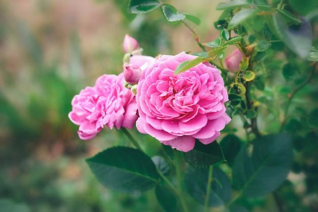 Roze rozenstruik. rozen in de tuin.