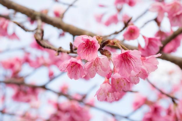 Roze sakura bloem bloeit.