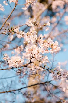 Roze sakura-bloem en blauwe hemel