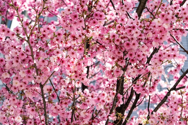 Roze sakura japanse kersenbloesems in volle bloei.