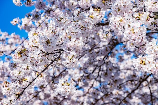 Roze sakurabloem, de boom van de kersenbloesem in park.