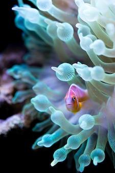 Roze stinkdier clown vis in anemoonbel van een groene fluorescerende