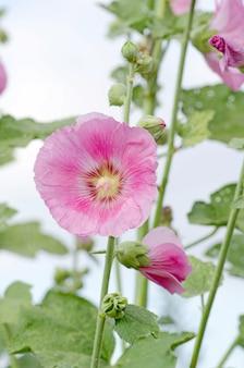 Roze stokroos zijn bloeiend. alcea rosea groei