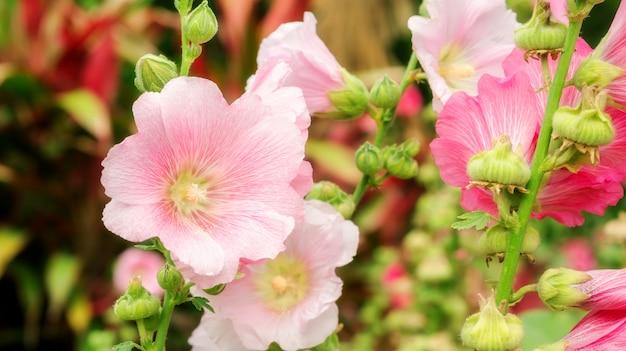 Roze stokrozenbloem in een tuin.