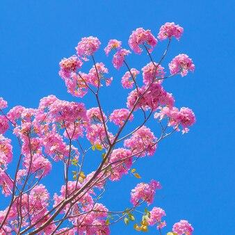Roze tabebuia-bloem op blauwe hemelachtergrond.