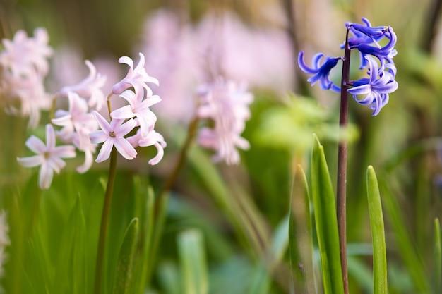 Roze tedere hyacint bloemen bloeien in de lentetuin.