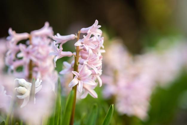 Roze tedere hyacintbloemen die in lentetuin bloeien.