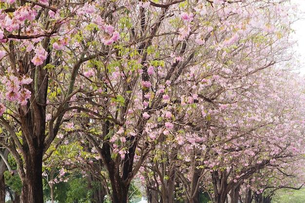 Roze trompetboom (bertol), zoete roze bloem die in de tuin bloeit