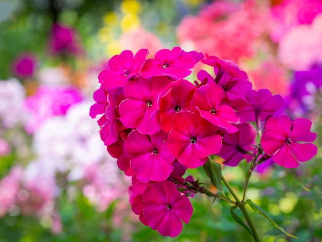 Roze tuinflox (phlox paniculata). bloeiende tak van roze phlox in de tuin. zachte wazig selectieve aandacht.