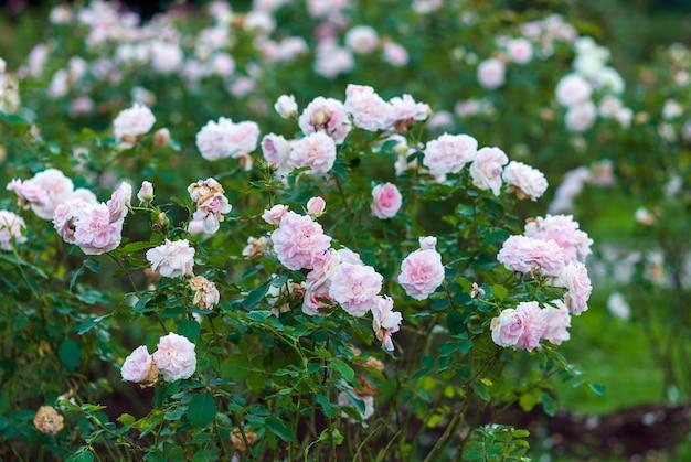 Roze tuinstruikrozen in bloei. morden blush rose met licht geurende witte bloemen met schelproze tinten