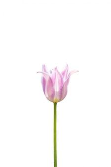 Roze tulp die op een witte achtergrond wordt geïsoleerd