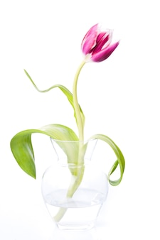 Roze tulp geïsoleerd op een witte achtergrond