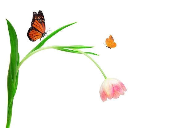 Roze tulp met groene bladeren en vliegende tropische vlinders geïsoleerd op een witte achtergrond