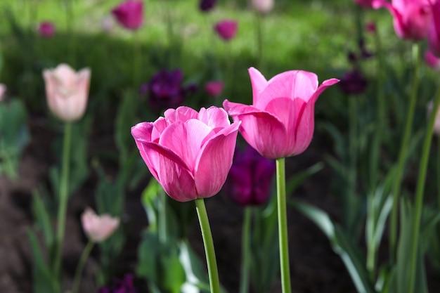 Roze tulpen bloeien in een bloembed in het park