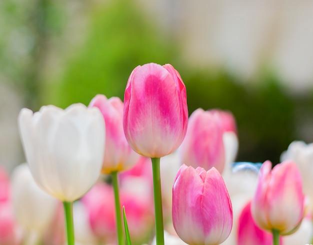 Roze tulpen bloeien prachtig in de natuurlijke tuinen op een zachte zonlichtdag. tulp flowers of love