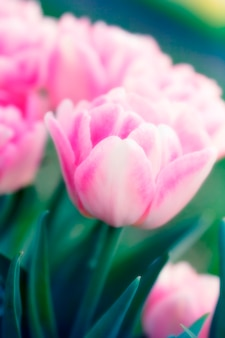 Roze tulpen, close-up