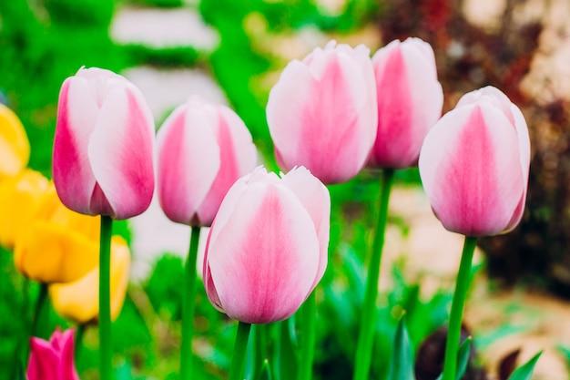Roze tulpen die in de tuin bloeien.