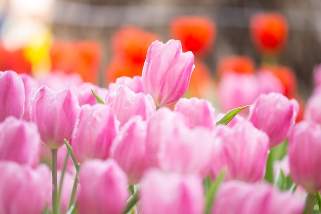 Roze tulpen in de tuin.