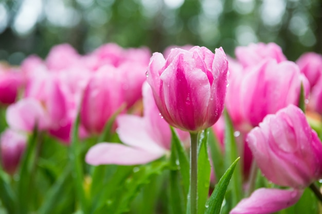 Roze tulpen in de tuin