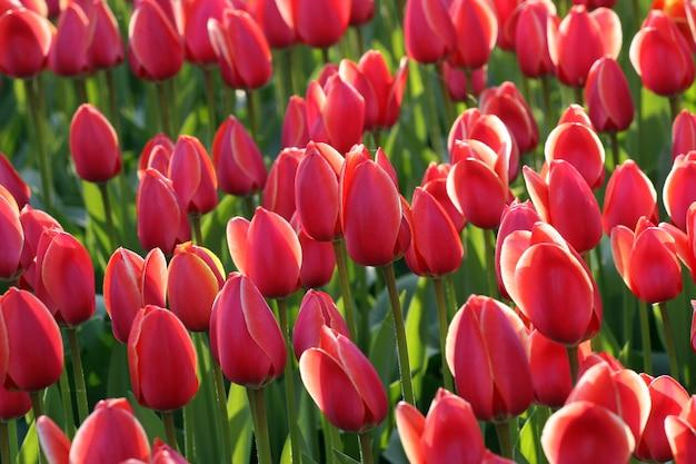 Roze tulpen in zonlicht