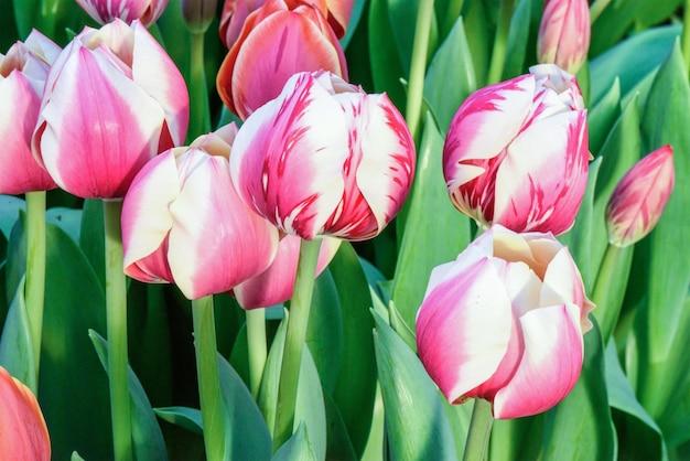 Roze tulpen op een bloemgebied