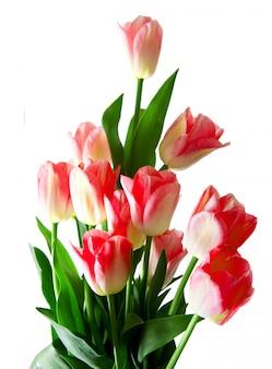 Roze tulpenboeket dat op wit wordt geïsoleerd