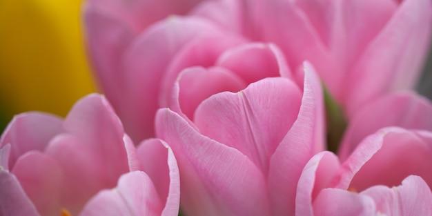 Roze tulpenclose-up, knoppen op een kier. selectieve aandacht