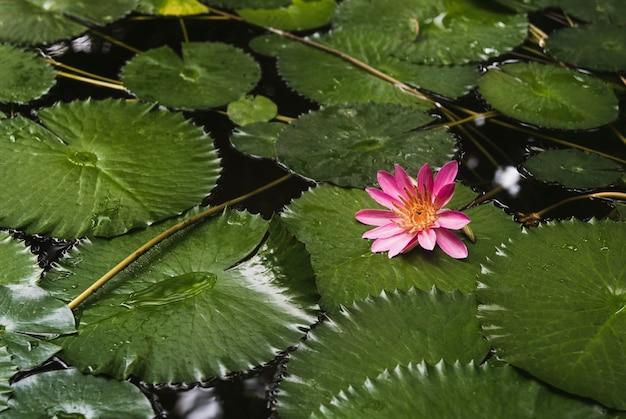 Roze waterlelie bloem nymphaea lotus op een donker water in de tuinvijver