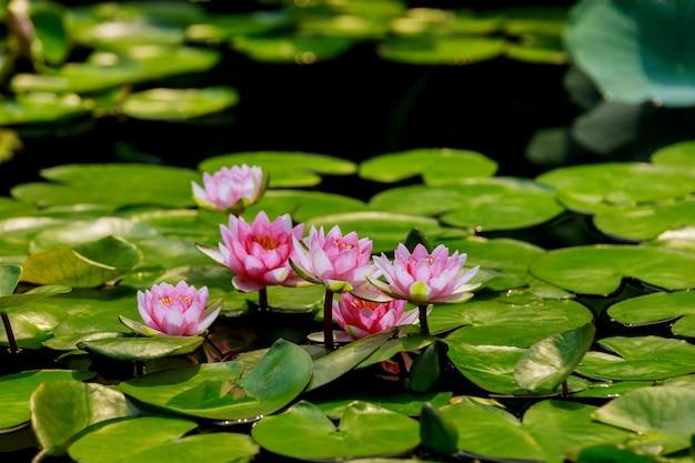 Roze waterlelie met groene bladeren in vijver