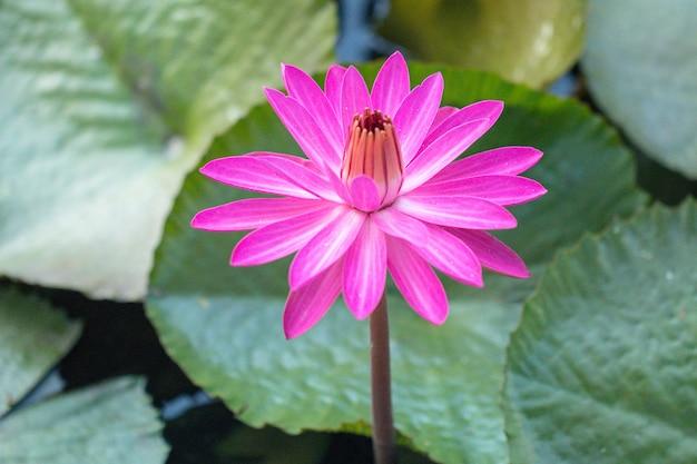Roze waterleliebloem of lotusbloem in vijver