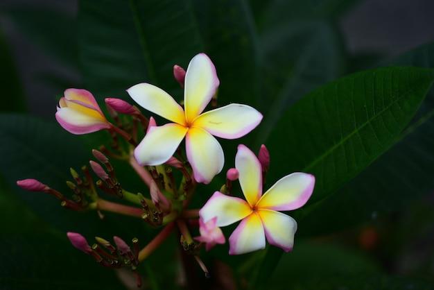 Roze witte bloem roze gele bloem of witte bloemachtergrond kleurrijke bloemen in aard