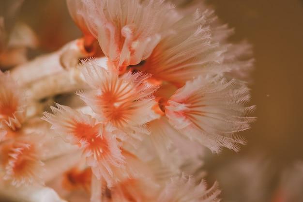 Roze zeewier
