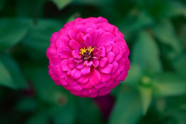 Roze zinnia-bloem in een tuin