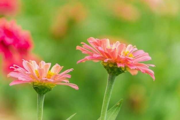 Roze zinnia-bloem (violacea cav. zinnia.) in de zomertuin op zonnige dag.