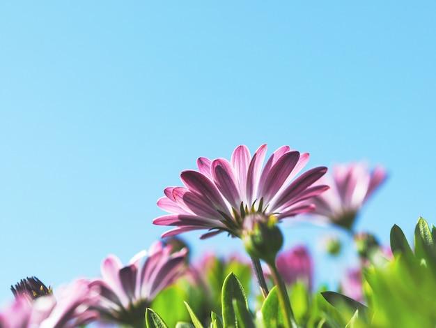 Roze zinnia-bloemen in de tuin tegen blauwe hemelachtergrond.