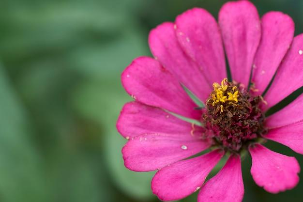 Roze zinnia elegans bloem of gemeenschappelijke zinnia meeldraden