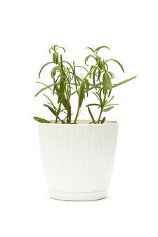 Rozemarijn in een witte geïsoleerde pot