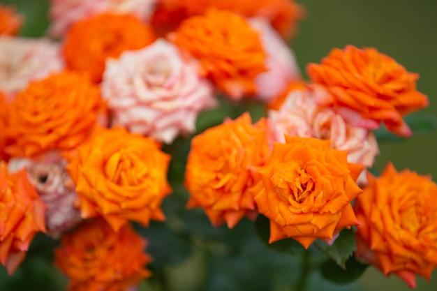 Rozen bloeien op struiken op de achtergrond van de tuinplant